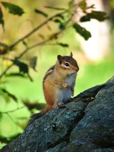 Vermont Chipmunk posing